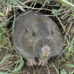 Difference Between Moles and Gophers