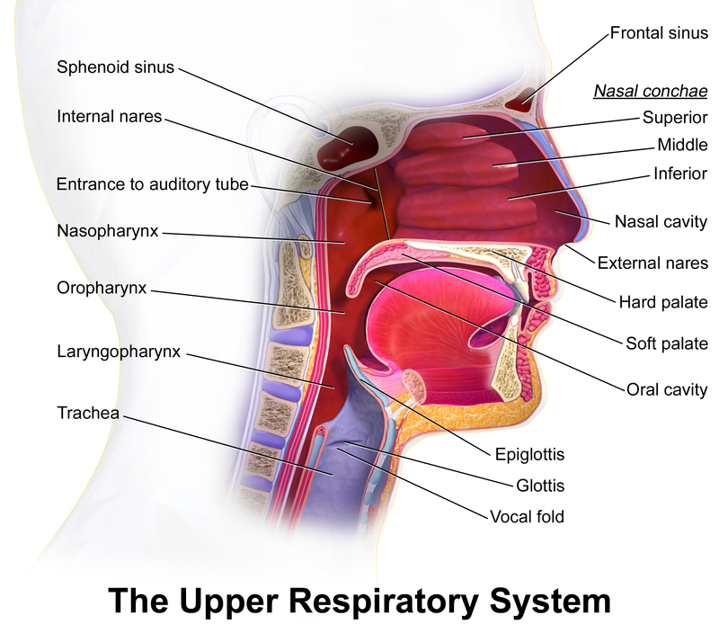 Difference Between Bronchitis and Upper Respiratory Infection-upper respiratory infection