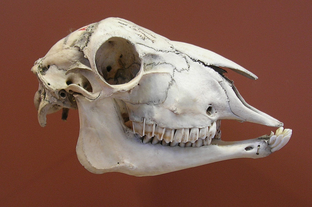 Herbivores vs Carnivores Teeth-