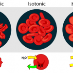 Difference Between Isotonic and Hypertonic