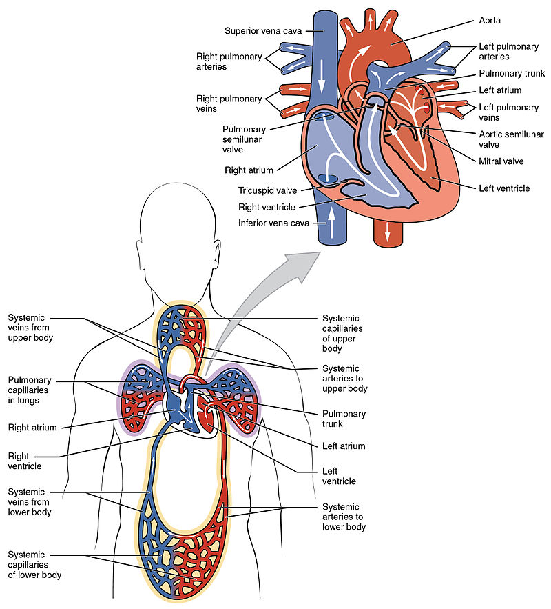 Difference Between Pulmonary Artery And Pulmonary Vein Pulmonary