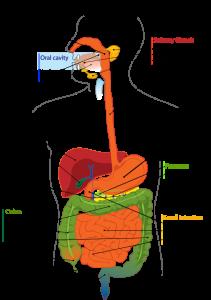 stomach flu vs food poisoning