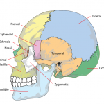 Difference Between Skull and Cranium
