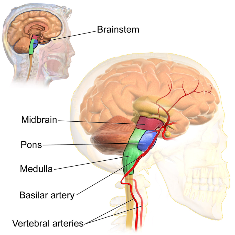 Difference Between brainstem and spinal cord