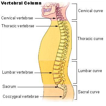 Cervical vs Thoracic Vertebrae-vertebral column