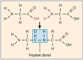 Key Difference - Glycosidic Bond vs Peptide Bond