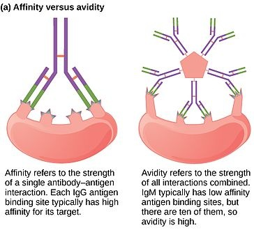 Difference Between Affinity and Avidity