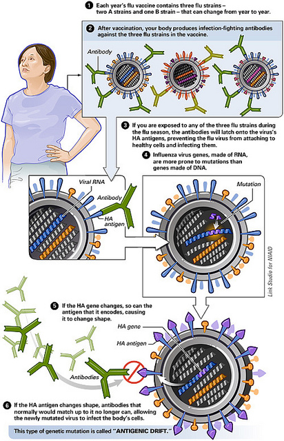 Difference Between Antigenic Drift and Antigenic Shift