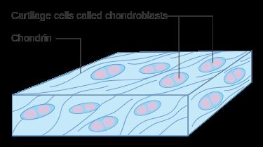 Main Difference - Chondroblasts vs Chondrocytes
