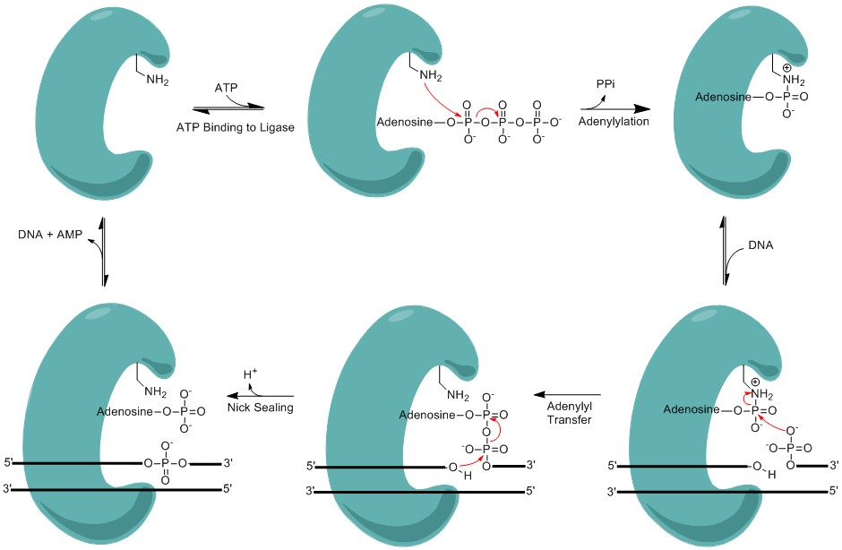 difference between dna ligase and dna polymerase