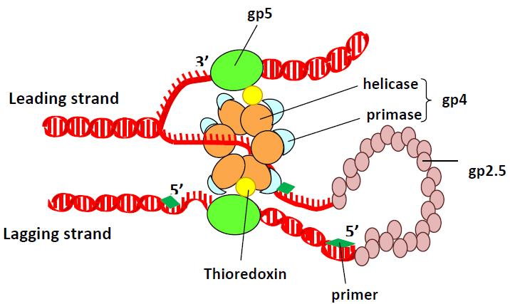 Key Difference - DNA Ligase vs DNA Polymerase