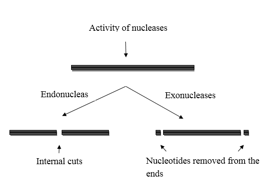 Difference Between Endonuclease and Exonuclease