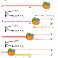 Difference Between Endonuclease and Exonuclease - 4