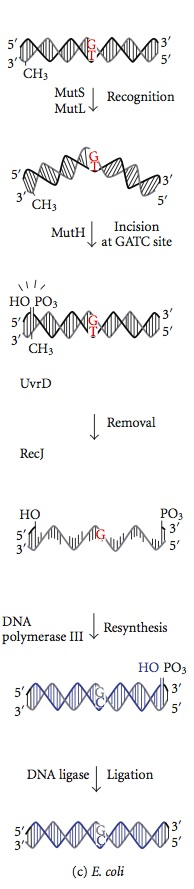 Key Difference - Mismatch Repair vs Nucleotide Excision Repair