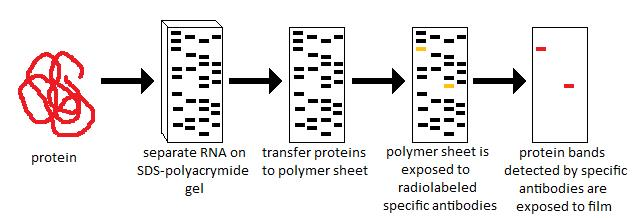 use of sds page western blot techniques as
