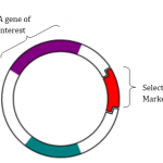 Difference Between Selectable Marker and Reporter Gene