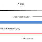 Difference Between Upstream and Downstream DNA
