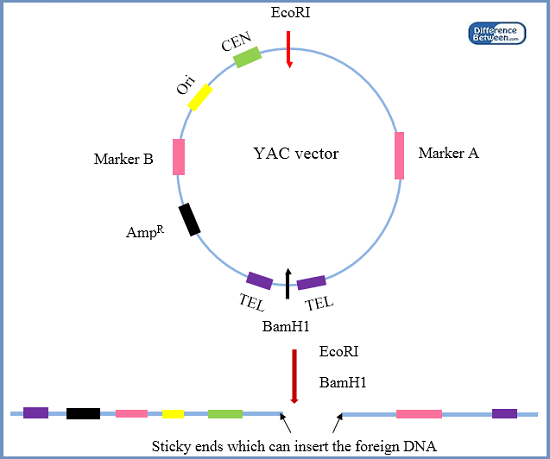 Difference Between YAC and BAC Vectors