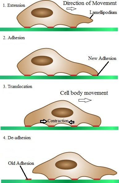 Difference Between Cell Migration and Invasion