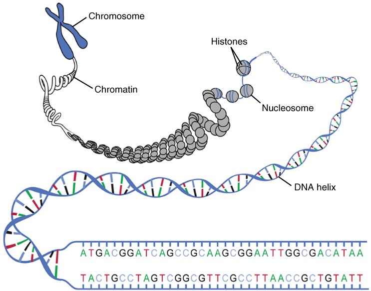 Key Difference - Chromatin vs Nucleosome