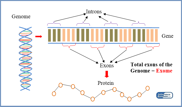 Difference Between Exome and Transcriptome