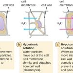 Difference Between Osmosis and Plasmolysis