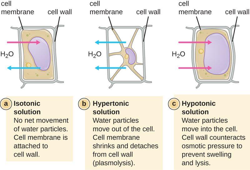 Key Difference - Osmosis vs Plasmolysis