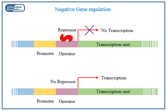 Key Difference - Positive vs Negative Gene Regulation