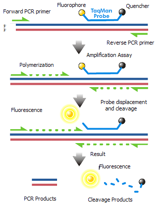 Key Difference - RT PCR vs QPCR