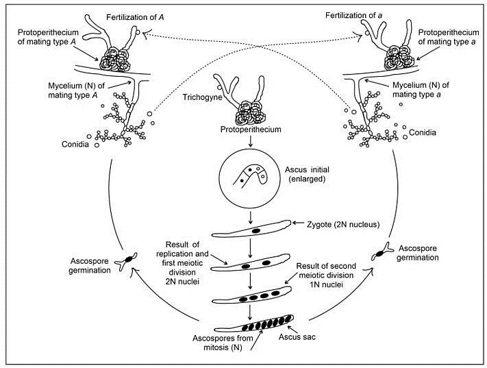Key Difference - Ascospore vs Basidiospore
