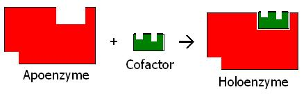 Key Difference - Enzyme vs Coenzyme