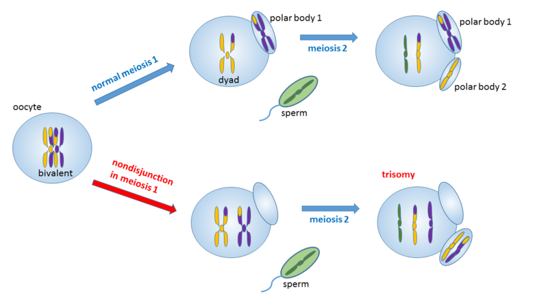Difference Between Nondisjunction in Meiosis 1 and 2