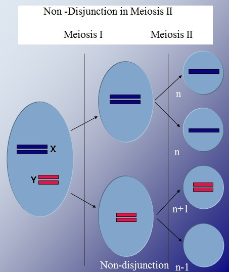Difference Between Nondisjunction in Meiosis 1 and 2 - 3