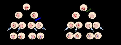 Key Difference - Euploidy vs Aneuploidy