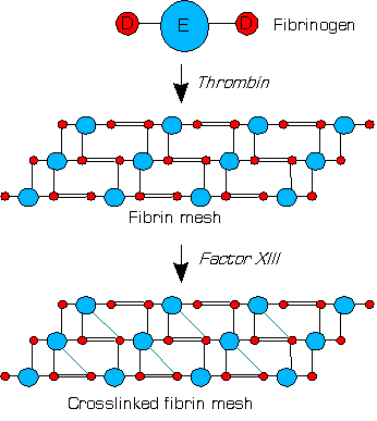 Difference Between Fibrin and Fibrinogen