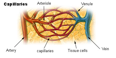 Key Difference - Arteries vs Arterioles