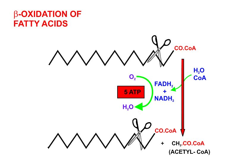 Difference Between Fatty Acid Synthesis and Beta Oxidation