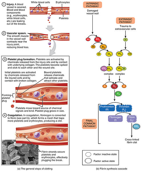 Difference Between Hemostasis and Coagulation