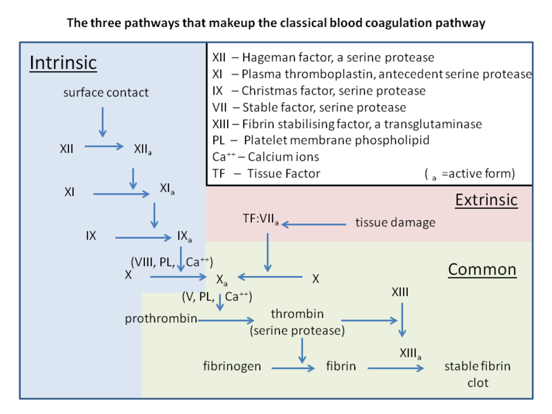 Difference Between Intrinsic and Extrinsic Pathways in Blood Clotting