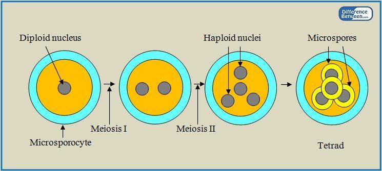 Difference Between Microsporogenesis and Megasporogenesis