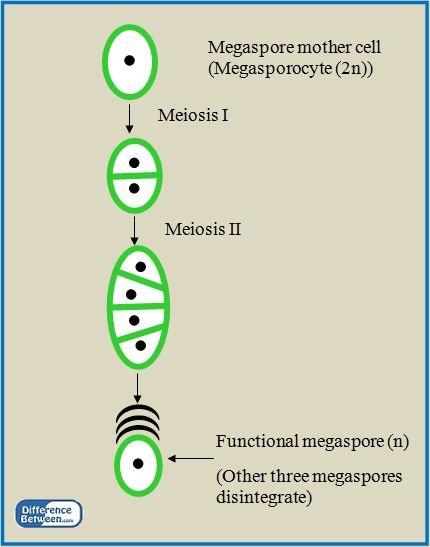 Key Difference - Microsporogenesis vs Megasporogenesis