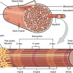 Difference Between Myofibril and Muscle Fiber