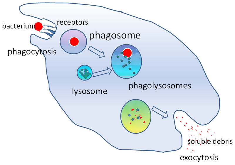 Key Difference - Phagocytes vs Lymphocytes
