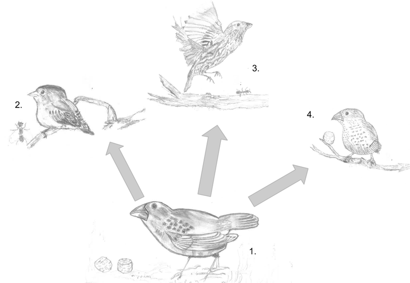 Difference Between Adaptive Radiation and Divergent Evolution