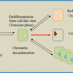 Difference Between Dedifferentiation and Redifferentiation