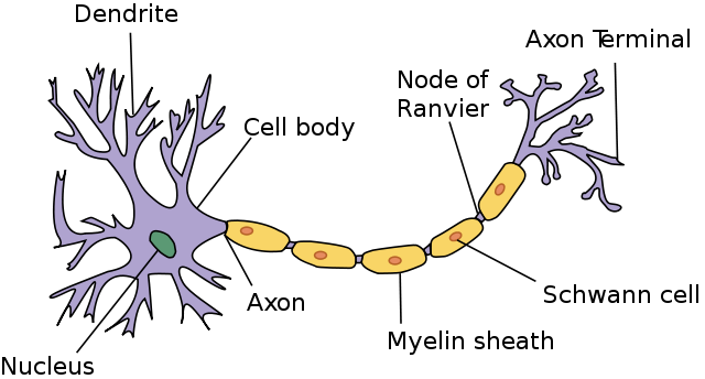Key Difference - Glial Cells vs Neurons