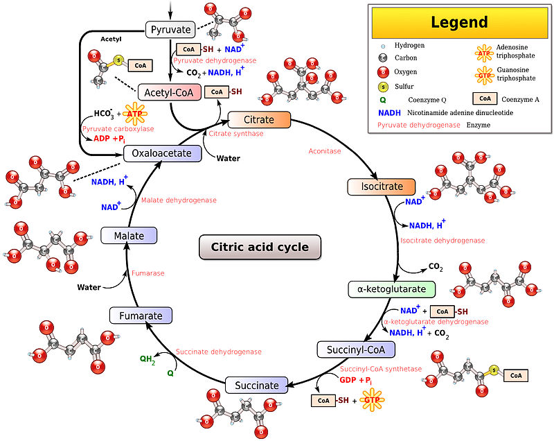 Key Difference - Glycolysis vs TCA Cycle