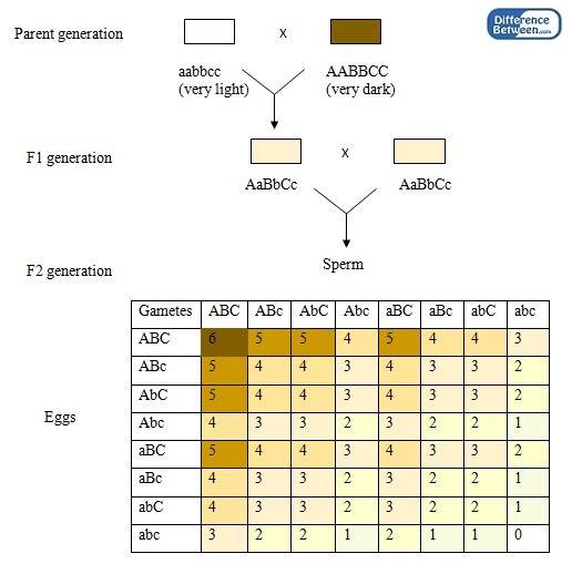 Difference Between Monogenic and Polygenic Inheritance | Monogenic