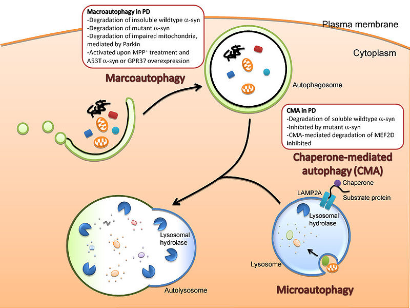 Difference Between Autophagy and Apoptosis