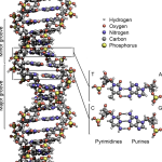 Difference Between Oligonucleotide and Polynucleotide